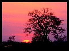 Botswana sunset (electra-cute) Tags: africa trees sunset silhouette coral purple safari botswana 5photosaday blindphotographers bestofbp