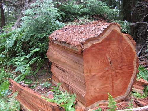 Chunk of fallen redwood