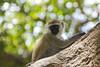 curious (jeffinmoscow) Tags: africa tree monkey honeymoon kenya bokeh safari curious basecamp top20bokeh