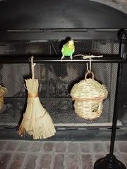 huthut (PhotoPieces) Tags: bird budgie parakeet ilovebirds