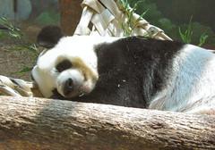 Ahhh the peaceful life (Pandora_60) Tags: elephants zooatlanta pandas lunlun yangyang tamarins meilan