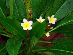 small is beautiful (Arun Kumar Sinha) Tags: white flower green leaf utata utatafeature nikonstunninggallery fiveflickrfavs naturespecnature
