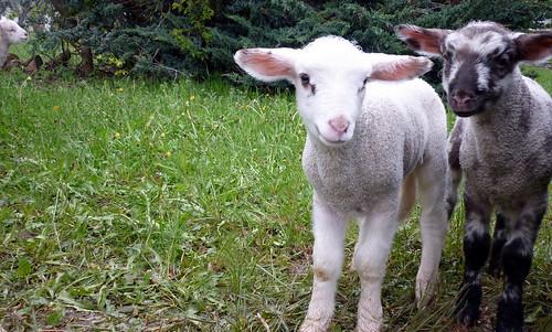 Les agneaux sont de sortie