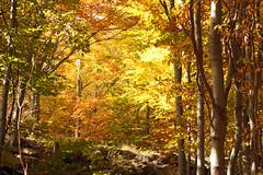 Baffal (bormanus_sv) Tags: autumn trees light red love yellow foglie alberi forest giallo lovepeace sole autunno rosso colori luce paesaggio bosco faggio polvere esplosione visuale