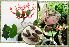 Jatropha podagrica (Buddha Belly Plant, Gout Stick, Gouty Stalk, Purging Nut) (jayjayc) Tags: flowers orange plants green seeds malaysia kualalumpur propagation jatrophapodagrica buddhabellyplant bottleplantshrub guatemalarhubarb jjsgarden jayjayc purgingnut goutplantstick