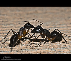 OUCH .. Don't bite me mad ant :@ (tawFiQ Dif) Tags: macro insect fight hit nikon wrestling ant  elites tawfiq   nikond80     alghamdi