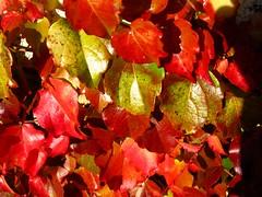 IMG_2414 (Traud) Tags: autumn fall leaves automne laub herbst herfst harvest autumncolors foliage bltter couleur herbstlaub otono colorsofautumn