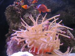 Sea Anemone & Clown Fish #2 (ignis.paries) Tags: atlantis anemone bahamas paradiseisland seaanemone