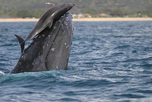 humpbackwhaleanddolphin