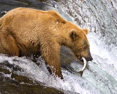 Grizzly Catching Salmon (Rob Kroenert) Tags: bear park fish nature alaska river fishing wildlife salmon lodge national grizzly brooks katmai katmainationalpark