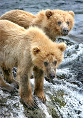 Grizzly cubs (Rob Kroenert) Tags: park usa nature alaska river wildlife bears national cubs grizzly brooks katmai katmainationalpark
