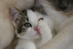 Hiding behind my paw (Mandy Verburg) Tags: pet cat kitten kat feline pussy kitty ek 500 huisdier poes kaylee katachtige cyper supershot thebiggestgroup cc400 cc300 cc200 cc100 kissablekat mandyarjan bestofcats thebiggestgroupwithonlycats