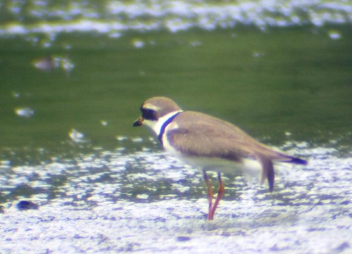 semipalmated plover4