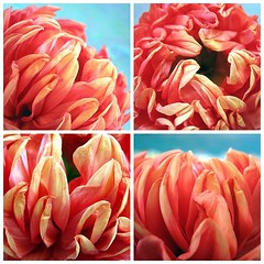 Dahlia Fire (a m photography) Tags: dahlia orange flower beautiful petals mosiac flowersonblue
