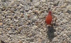 Immature lovebug maybe on concrete - by Martin LaBar