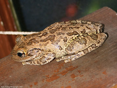 Cuban Tree Frog (horizonsmoon1) Tags: nature canon photography florida wildlife frog toad amphibians