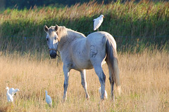 Cheval et aigrettes (teocaramel) Tags: fab cheval oiseau jpb blueribbonwinner aigrette 25faves goldenmix featheryfryday aplusphoto avianexcellence diamondclassphotographer wonderfulworldmix