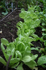 row of escarole