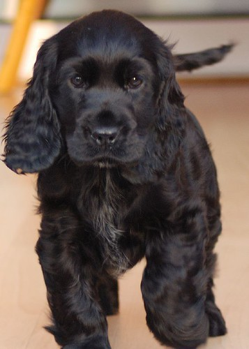 Mollly English Cocker Spaniel Puppy. Queen of the castle!
