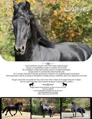 2009 HHF WIP (larissa_allen) Tags: horses horse black photography indiana keegan ponies equestrian equine blackstallion friesian friesians horsetraining friesianhorses friesianhorse blackhorses friesianstallion