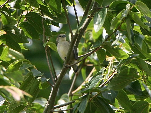 ThickBilledFlowerpecker