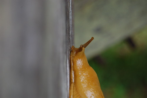 banana slug, profile