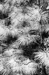 Pine Needles after the Rain (B&W)