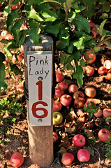 Pink Ladies (Rukasu1) Tags: apple md nikon farm maryland dcist apples homestead 1855mm nikkor picking pinklady poolesville d5000 nikond5000