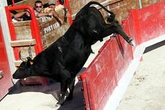 vauvert - course camarguaise a la fete votive (salta_tempo) Tags: bull bullfight corrida toro camargue toreaux