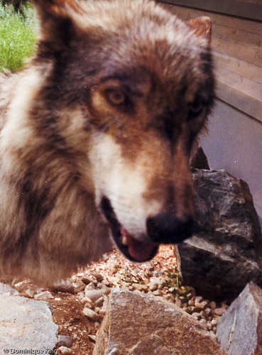 International Wolf Center - Ely, MN-4