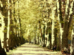 Platanenallee , weiches Licht - 033/367 (roba66) Tags: park parque autumn trees tree nature herbst natur bume baum allee baw platanen dragonsdanger imlndle