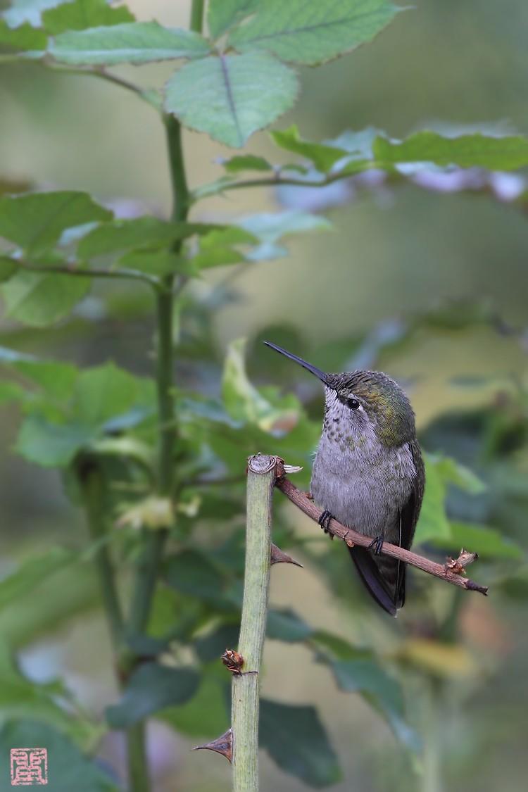 Anna's Hummingbird 110710-3