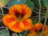 You don't stop laughing because you grow old. You grow old because you stop laughing. (Laramie_Coyote) Tags: autumn orange flower nature flora nasturtium clevelandmetroparkszoo damniwishihadtakenthat printedalready pogchallengewinners bestofdamn natureskingdom naturallywonderful btglevel1