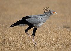 Secretary Bird, Central Kalahari