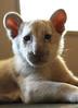 LovE (fotoattack) Tags: white cub tiger rare whitetiger tigercub fotoattack whitetigercub yougottobequickshootingtheselilfellaseverytimeiwouldlaydownonthefloorandfocustheywouldcomerunningatmetheywouldtryandbitemyankleandattackmycamerastraponly10weeksold3540lbsandsomuchpower babywhitetiger