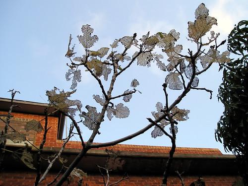 Fig Tree Bugs_01