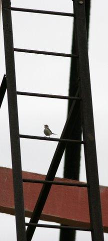 Tailor bird on ladder