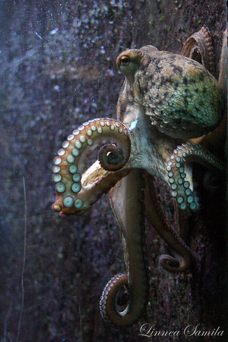 Octopus vulgaris by lintsu.