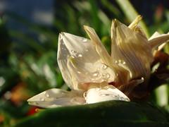 Crumpled Beauty (diongillard) Tags: flowers white flower nature water fleur rain fleurs garden cream drop gazania naturesfinest flowerpicturesnolimits macrophotosnolimits