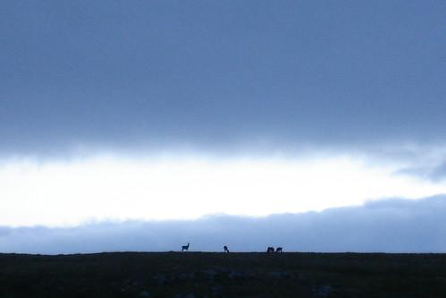 Reindeer on the ridge