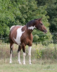 Ben_4723_wm (myhorse) Tags: summer horse paint cross ben arab arabian pinto gelding tobiano pintabian