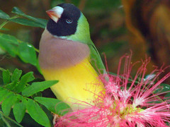 Gouldian with Pink (melepix) Tags: flower bird florida multicolor butterflyworld ladygouldian specnature