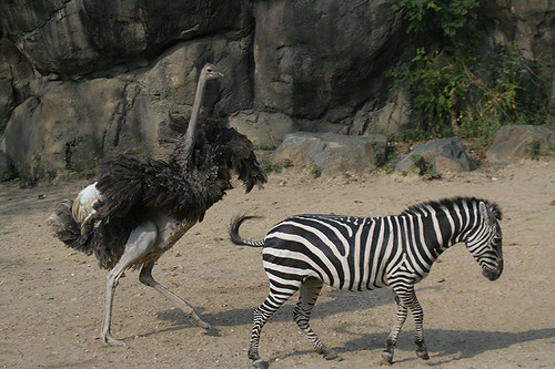 The partnership between Ostrich and Zebra