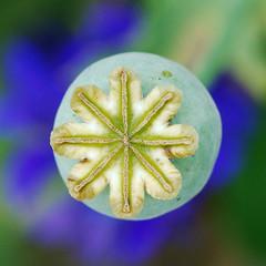 (pixelmasseuse) Tags: loveit poppy seedpod photofaceoffwinner pfogold pfosilver thechallengefactory
