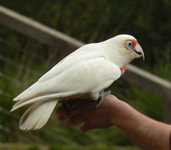 Long Billed Corella (ianmichaelthomas) Tags: friends birds healesvillesanctuary parrots cockatoos corella longbilledcorella corellas animaladdiction wildlifeofaustralia animalcraze worldofanimals healesvillevictoriaaustralia flickrlovers vosplusbellesphotos flickrsbestcreatures