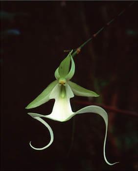 orquidea fantasma