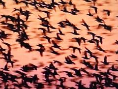 Ducks at dusk (Don_Gato (LoFi Photography)) Tags: birds fly bravo dusk ducks magicdonkey artlibre superbmasterpiece
