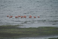 wild flamingoes