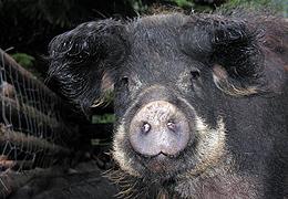 Le porc laineux