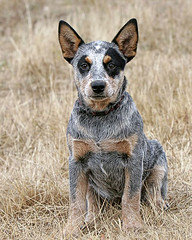 Australian Cattle Dog Pup (zingpix) Tags: usa dog dogs jeff puppy washington all cattle  australian explore rights queensland jeffrey australiancattledog reserved heeler acd blueheeler allrightsreserved zingpix jeffjaquish jaquish jeffreyjaquish